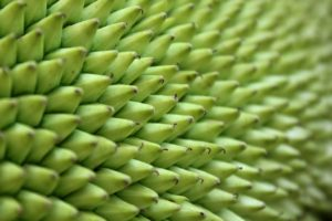 Close up of a jackfruit. Vying for Veganism
