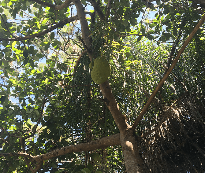 Giant jackfruit high in the canopy... the last one. Grown in Naples, FL by Charles King. Vying for Veganism